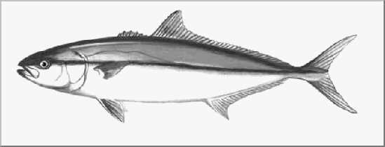 Few Southern California Anglers Would Disagree That Except For The Far Offs Species Like Billfish And Tuna Yellowtail Is Premier Fish Of